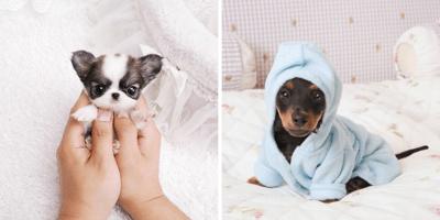 cachorros diminutos