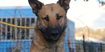 belgian shepherd mix at the end of a yellow leash