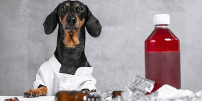 Anticonceptivos en perros