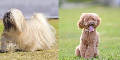 White Lhasapoo dog