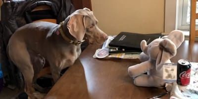 Watch: Hilarious Weimaraner confused by talking elephant plush