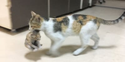 Cat walking along hospital floor carrying kitten