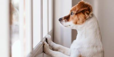 Pies stoi w oknie i tęksni