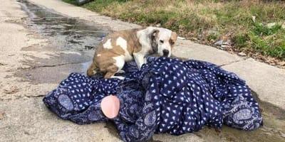 pitbull-ze-swoim-kocem