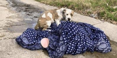 pitbull-abbandonato-con-una-coperta
