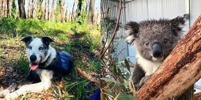 Border collie-koolie cross rescue dog