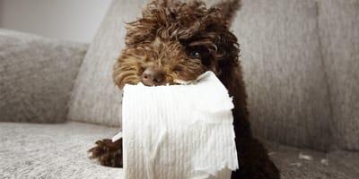 cane mangia carta igienica