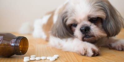 Shih Tzu in front of medecine