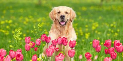 Golden retriever behind tulips