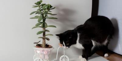Geldbaum und Katzen: Ungiftiger Glücksbringer