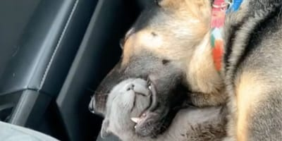 Woman shocked to see kitten napping in GSD's mouth