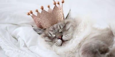 gatto-con-la-corona