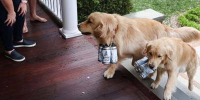 Watch: Buddy and Barley the Golden Retrievers have very special jobs