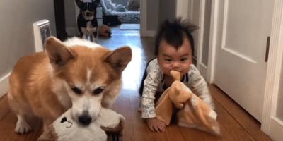 Bebé quiere ser un Corgi más: sus padres, que lo estaban grabando, no pueden creer lo que hace