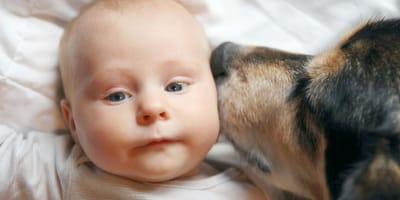 gsd type dog licks baby's face