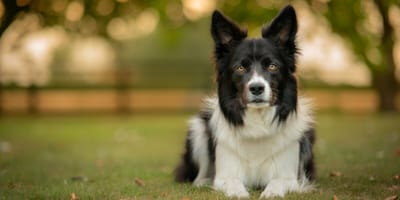 Border collie lied down on the grass