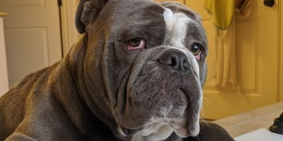 bulldog-in-bagno