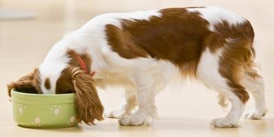 Come prendersi cura dell'apparato digerente del cane?