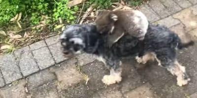 Perrito vuelve de pasear con algo colgando del lomo ¡y su humano se va de espaldas cuando ve qué es!