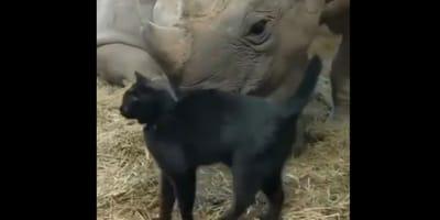 Czarny kot i nosorożec