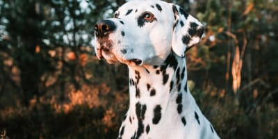 Everything you need to know about the Dalmatian cross