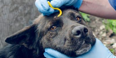 Tratamiento para la enfermedad de la garrapata en perros