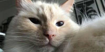 Kot_ragdoll_ze_smyczą