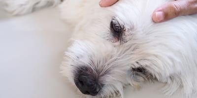 ataque epiléptico perro