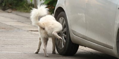 perro hace pipi en la llanta de un coche