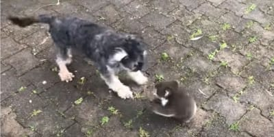 small grey dog play bowing in front of baby koala