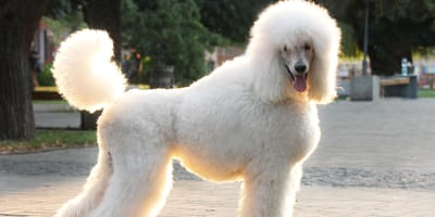 Poodle crossbreeds: Everything you need to know