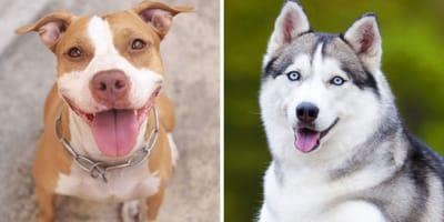pitbull and husky