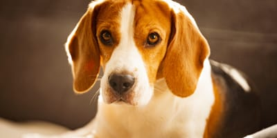 Dog poisoning: signs, causes and treatment