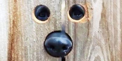 Pies patrzy przez płot