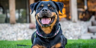 Everything you need to know about the Rottweiler cross