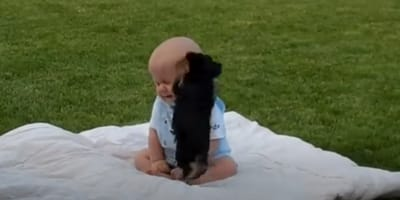 Yorkshire puppy jumping up on baby