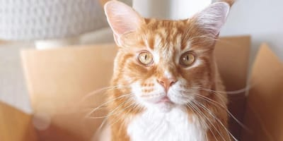 ginger maine coon