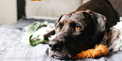 Brown dog looking anxious