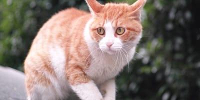 Gatto-rosso-e-bianco-stressato