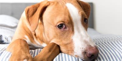 perro blanco y café enfermo del estómago