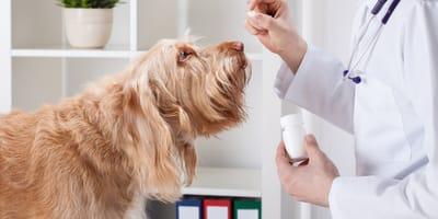 Veterinario somministra probiotici al cane ansioso