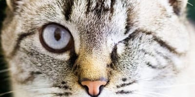Perle the cat close up