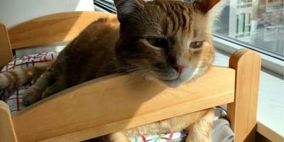 Ginger cat lies in IKEA-sold dolls bed