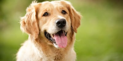 Everything you need to know about the Golden Retriever cross