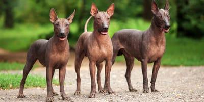 Nackthunde: Vier exotische Rassen im Überblick