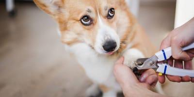 Cortauñas para perro: cómo elegirlo y usarlo correctamente
