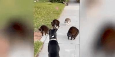 gatti bullizzano un cane