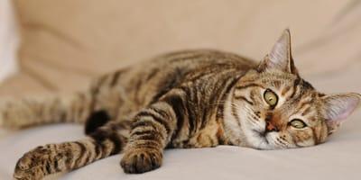 Gatto riposa sul divano dopo aver vomitato