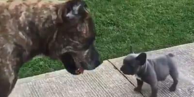 french bulldog and brindle cane corso
