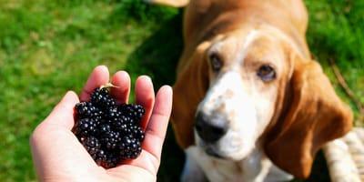 Hund und Brombeeren in Hand